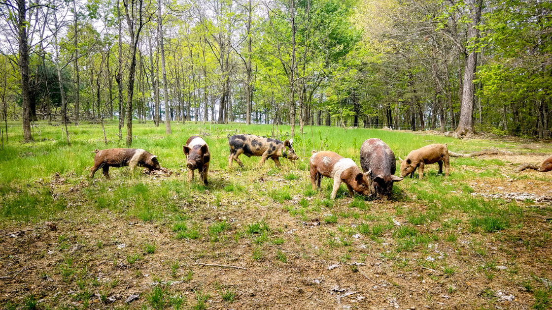 Polyface Pigs in the Forest