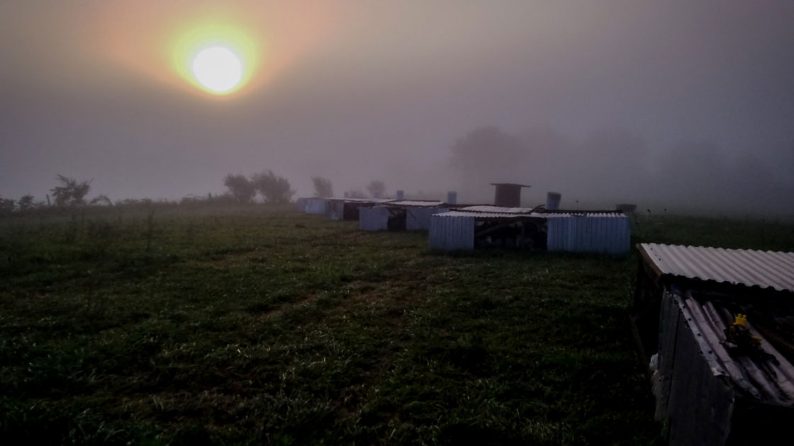 Moving Chickens in the Morning