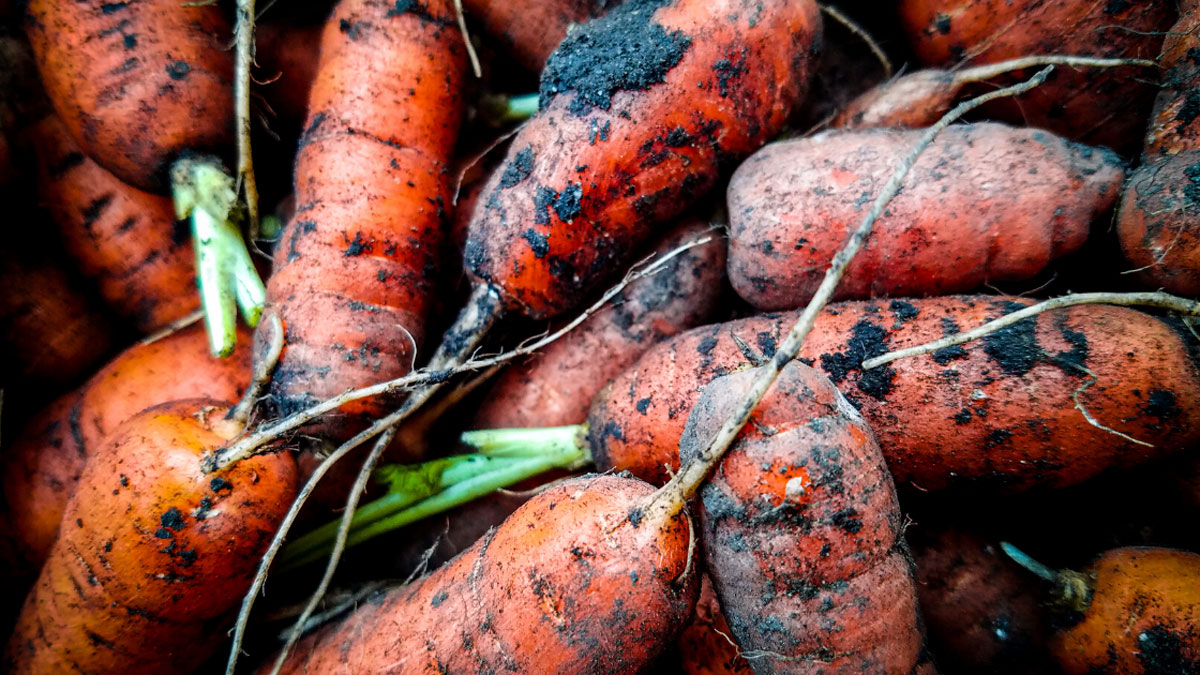 carrots fresh from the garden