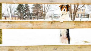 Dog standing with paws on fence