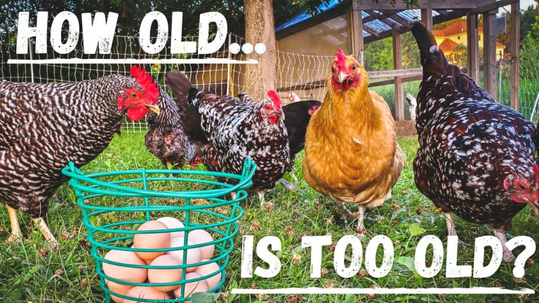 How Long Do Hens Keep Laying?